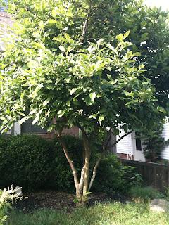 Tree in my backyard where I apply Winchester Gardens tree fertilizer spikes