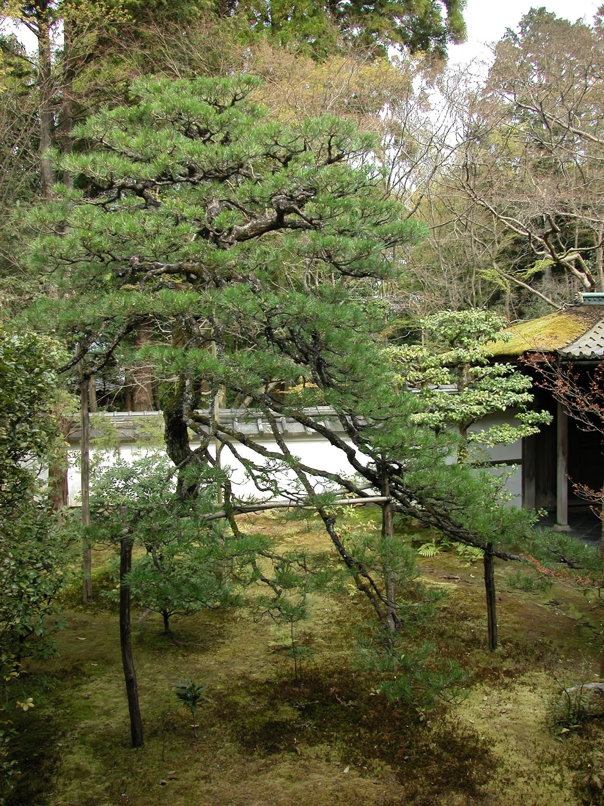 A Small Gracefully Pruned Black Pine In The Grounds Of Koto Kyoto