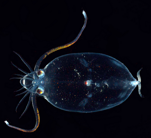 Transparent glass squid (Cranchiidae sp)