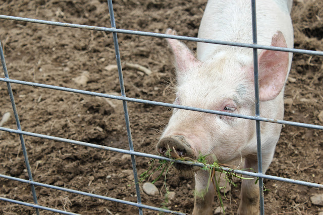 Pig at Berlin Orchards