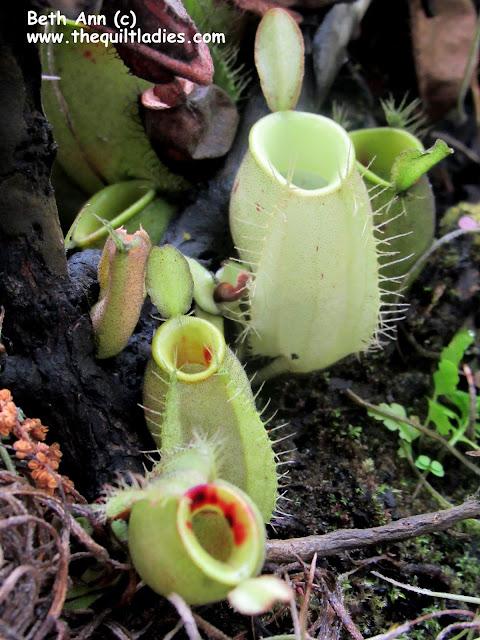 Sticky base of a plant (c) Beth Ann Strub