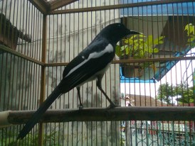 kacer burung kacer mbagong lagi share the knownledge