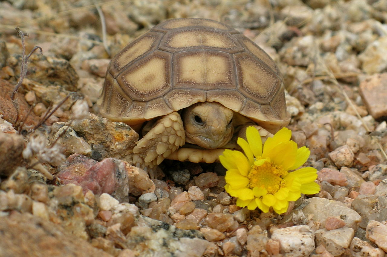 Desert Tortoise | Animal Wildlife