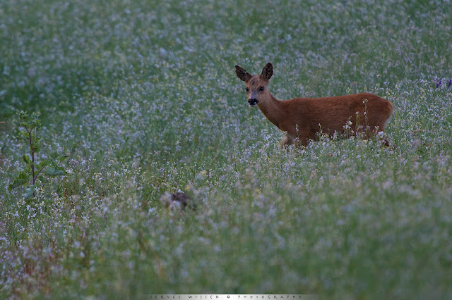 De Haas op de voorgrond legt zijn oren plat al dit Ree nieuwsgierig dichterbij komt - The Hare in the foreground flattens it's ears as the Roe Deer curiously approaches