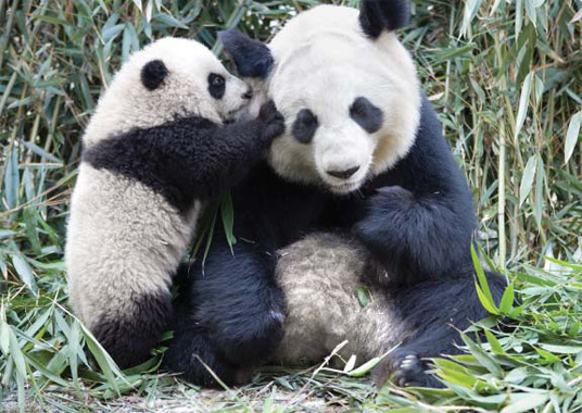 ANIMALS WALLPAPERS: panda cool funny /panda cool funny ...