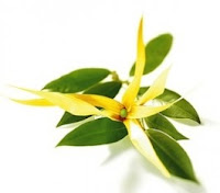 https://astucesecolos.files.wordpress.com/2015/07/fiche_recette_shampooing_cheveux_dc3a9shysratc3a9s_huile_essentielle_ylang_ylang_complc3a8te_lesideesdesamia1.pdf