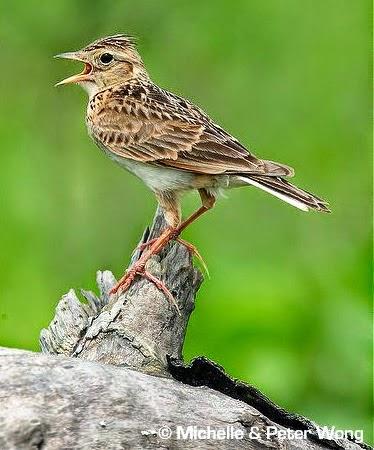 Burung Branjangan Terbaik