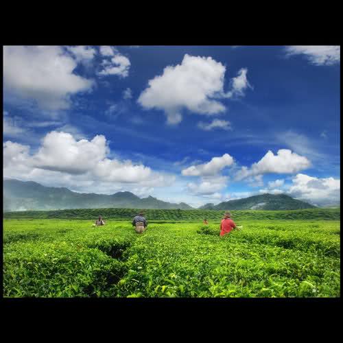 pesona petani teh 1