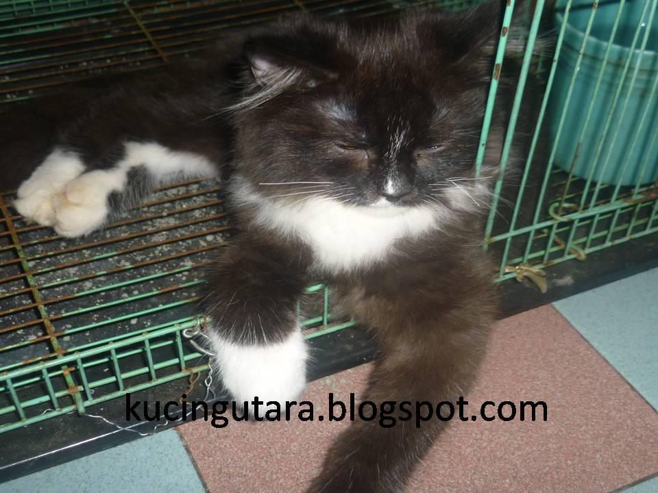 Kucing Utara Tuxedo Kitten Datang Homestay Kucing