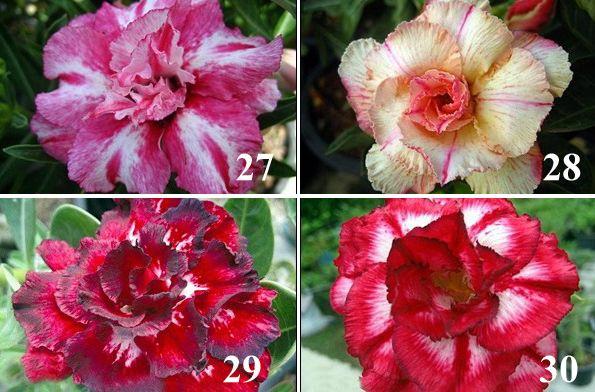 Adenium rose 2014