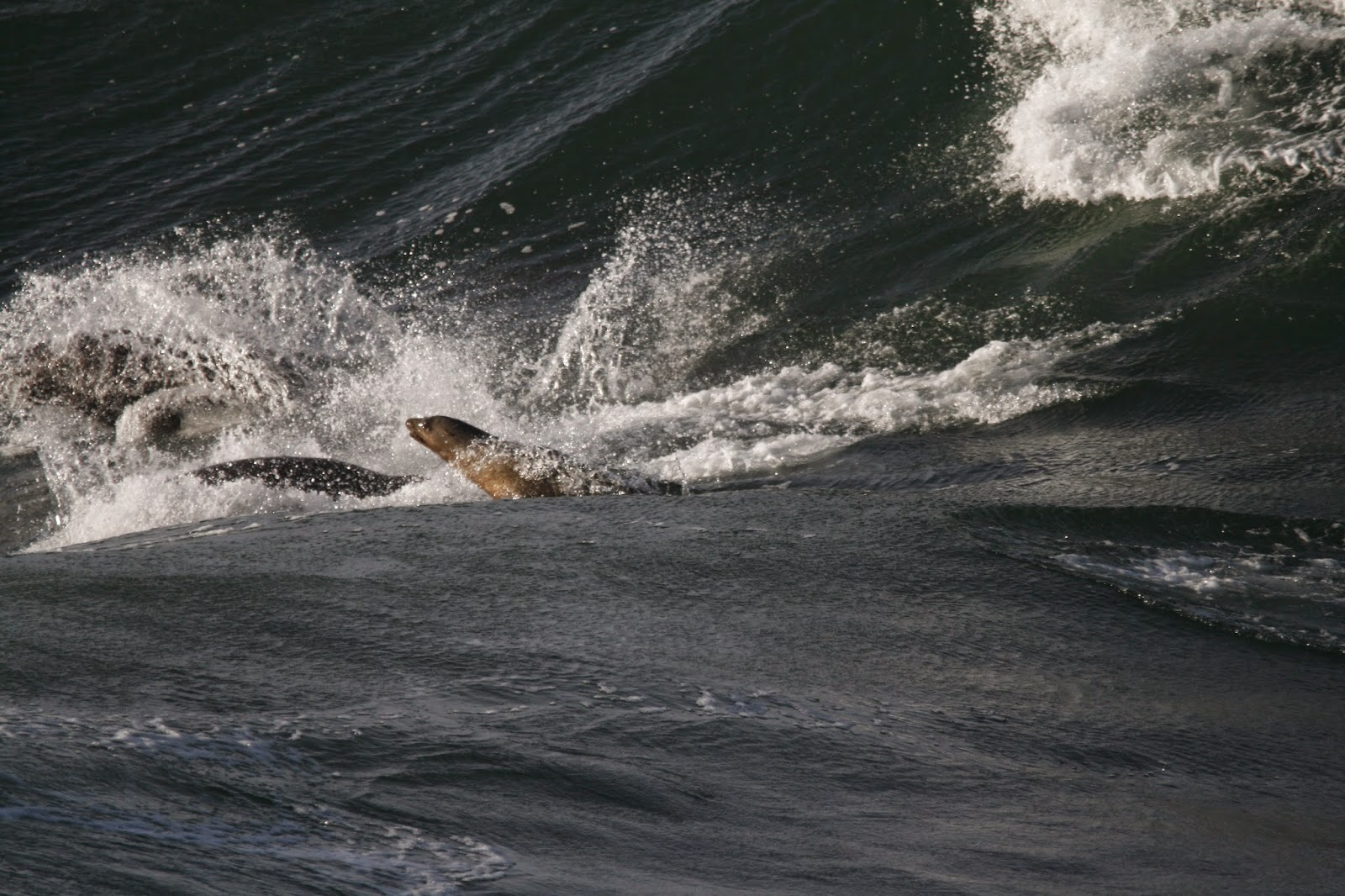 From Largest To Smallest They Are The Northern Elephant Seal Steller Sea Lion California Fur And