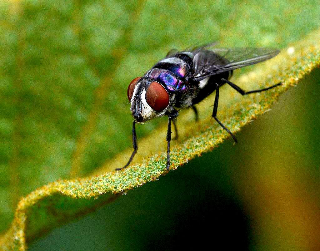 http://3.bp.blogspot.com/-md254kcSUvY/TlOG3K3NhII/AAAAAAAAA4o/cOCDUsdPrxI/s1600/blue_fly.jpg