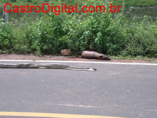 IMAGEM - Cobra sucuri de cerca de 3 metros na rodovia MA-122