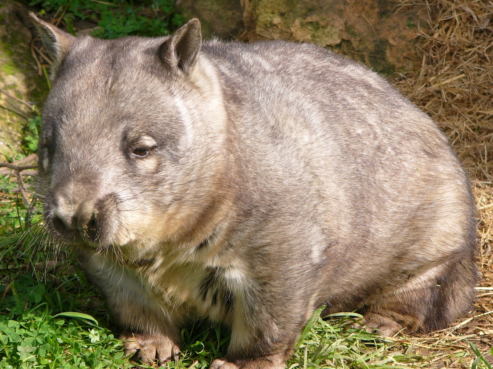 Let S Draw Endangered Species Hairy Nosed Wombat