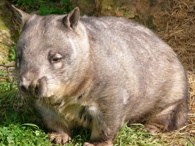 Endangered northern hairy nosed wombat