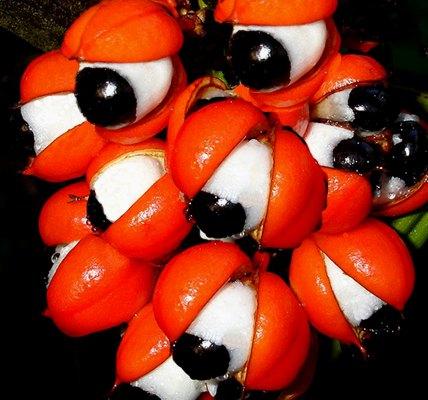 Guaranà: afrodisiaco ed elisir di lunga vita