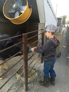 A child involved in feeding pigs on the farm