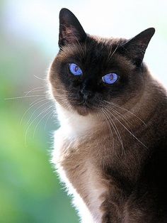 History of Siamese Cat