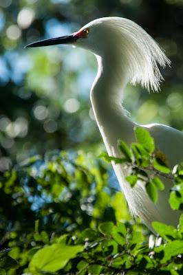 Snowy Egret, UT Southwestern Medical Center