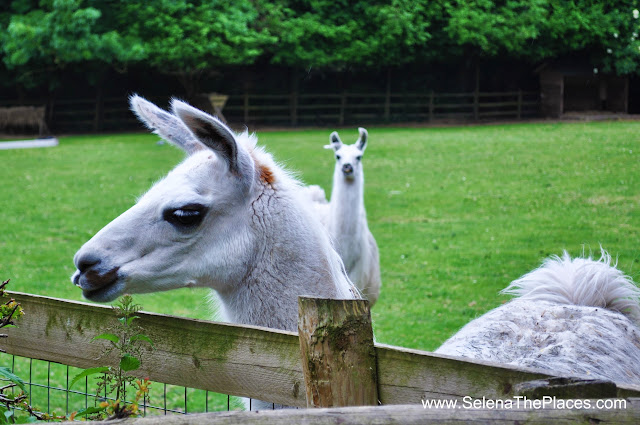 Llamas at Mudchute Farm London