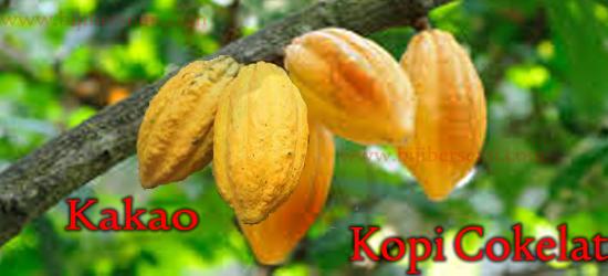 Kakao, Kopi cokelat, cara menanam kakao