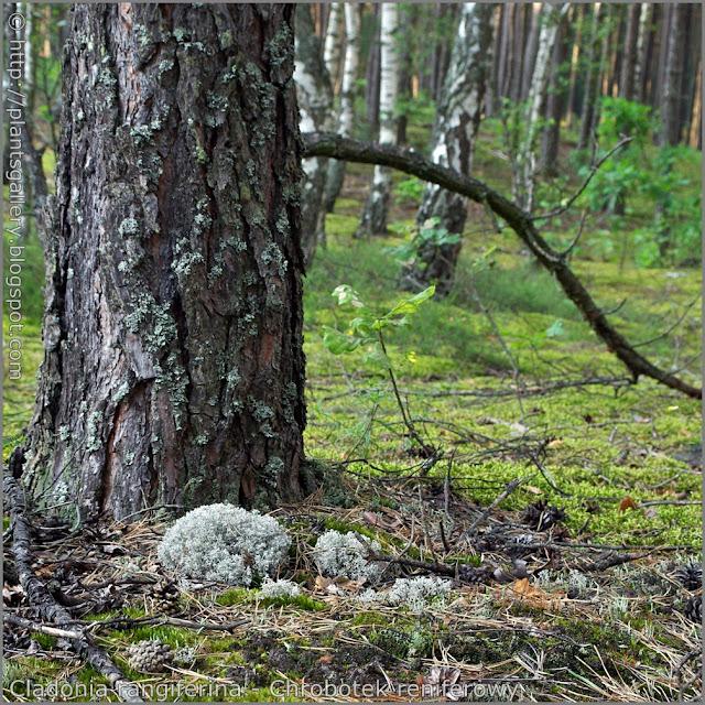Cladonia rangiferina habitat - Chrobotek reniferowy środowisko