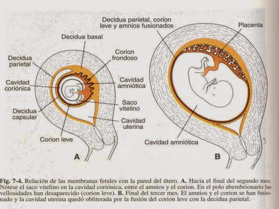 Prácticas De Embriología (ENMyH)- Equipo: \