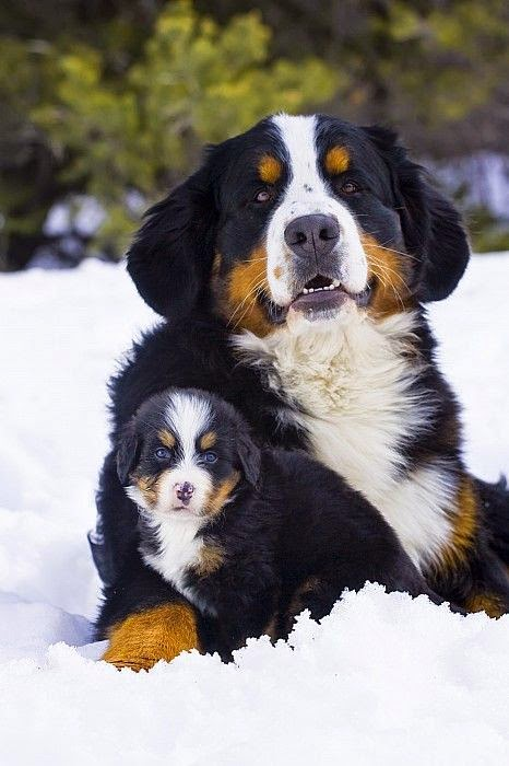 Cute Amazing Bernese Mountain Dogs