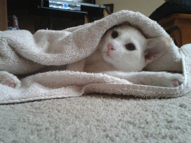 funny cat pictures, kitten in blanket