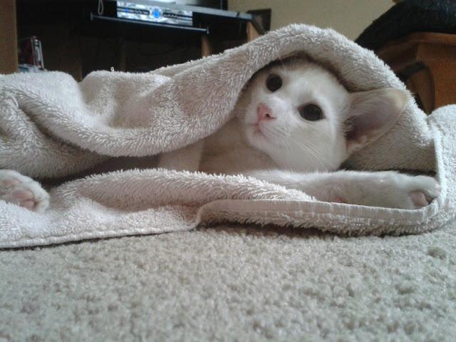 funny cat pictures, kitten in blanket