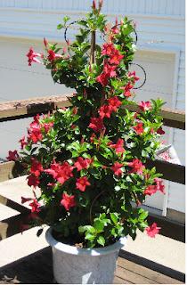 mandevilla, planta mandevilla, planta de flores rojas, planta en una maceta, planta para balcones, planta para terraza, una planta en la terraza, plantas para balcón, dipladenia, planta dipladenia