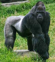 macaco preto