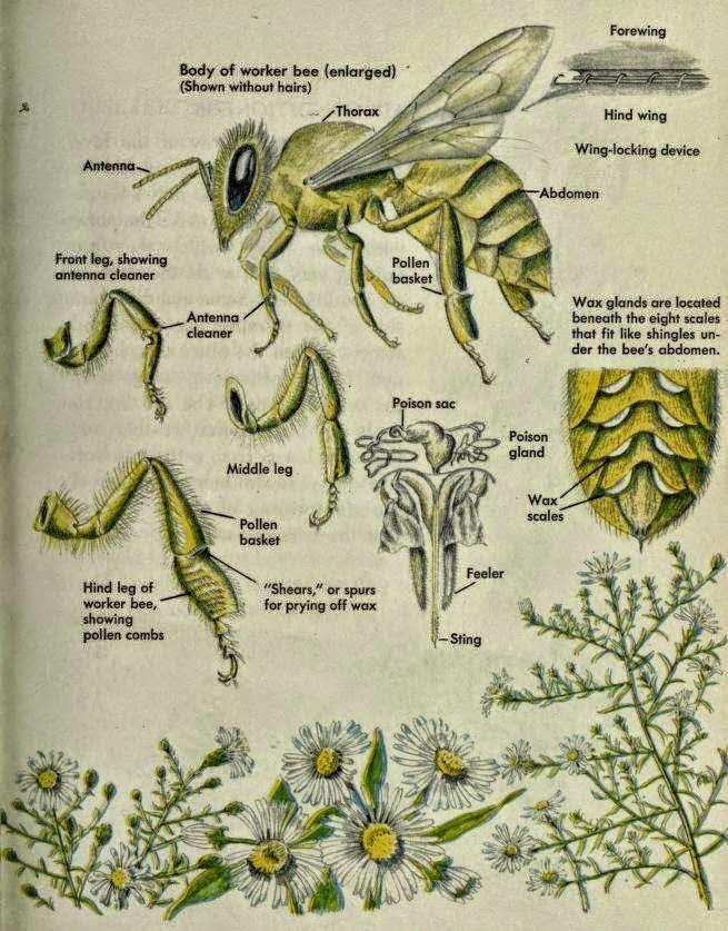 La Familia de la Apicultura - The Beekeeping of Family: Anatomía