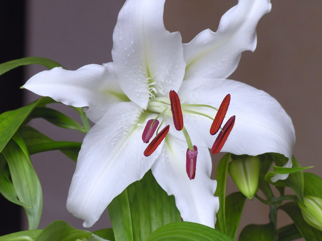 Casablanca lilies flowers types of flowers lily izmirmasajfo