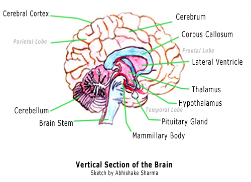 Brain And Parts6