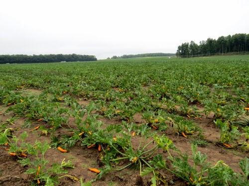 orange zucchini field
