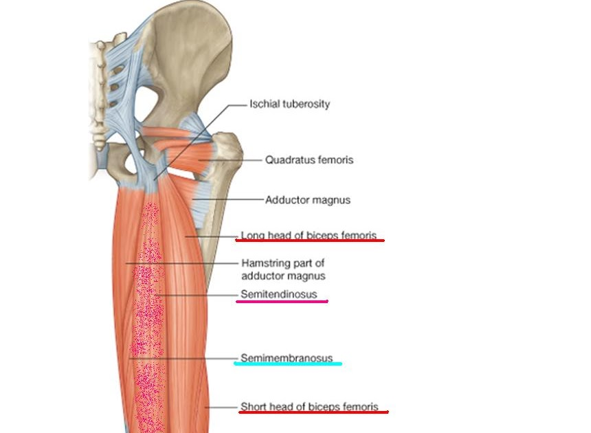Anatomía UNAM: MUSLO POSTERIOR