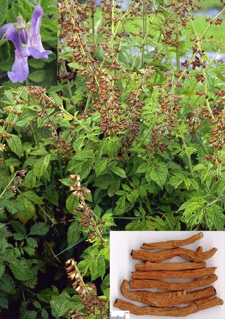 Salvia miltiorrhiza Bge. (Fam. Lamiaceae)