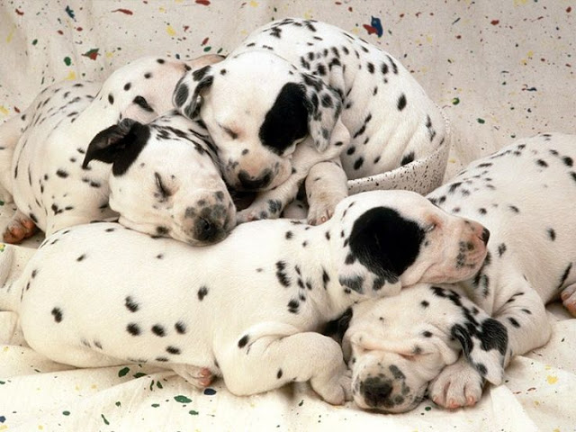 Litter size of Dalmatian Dogs