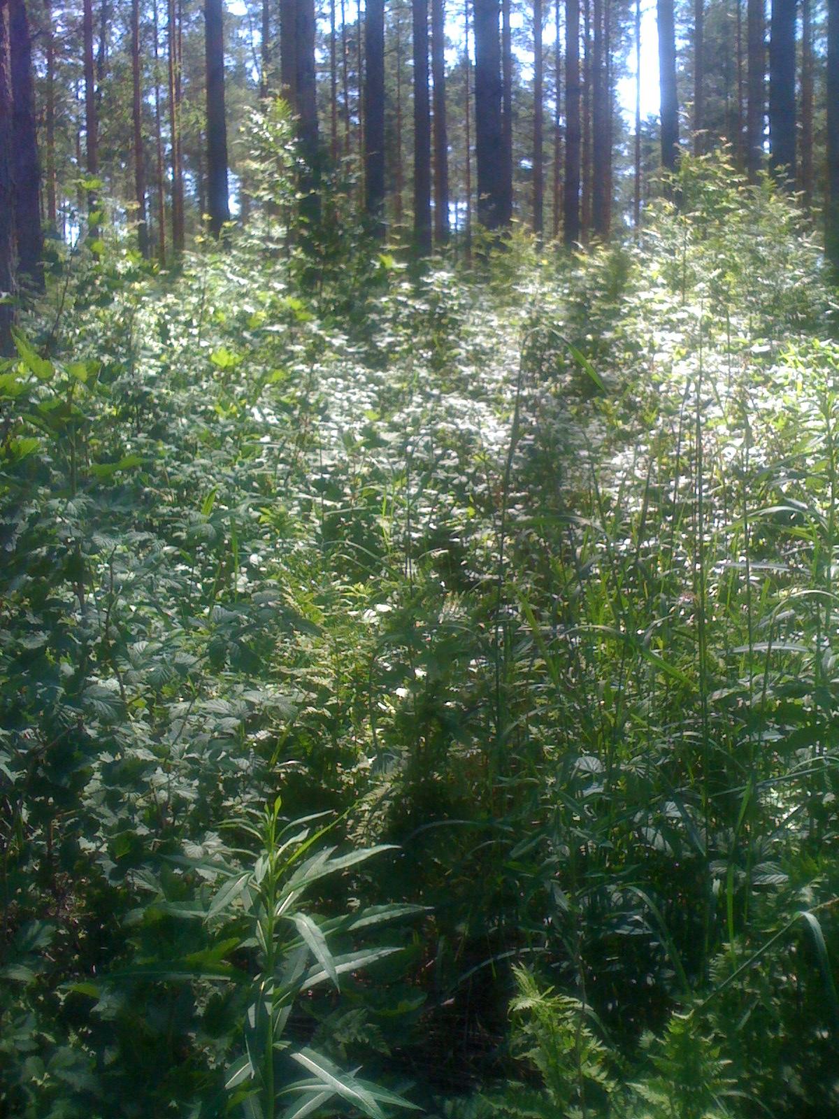 Pine Forest Finland