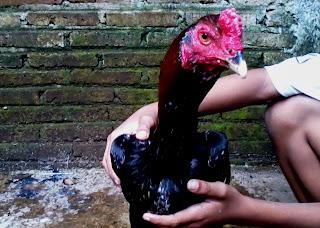 Gambar ayam bangkok aduan | Si Daplun