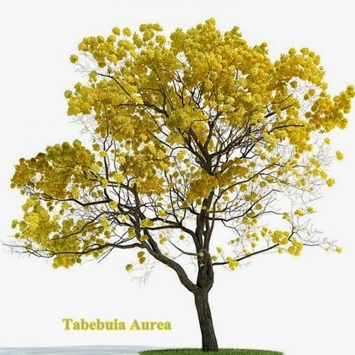 Tabebuia (Tabebuia Aurea)
