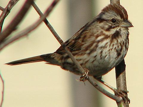 essay on bird sparrow