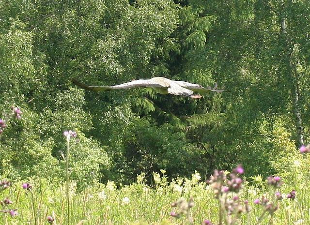Abfliegender Kranich, Lichtenberger Teich (Svetlik) Nordböhmen