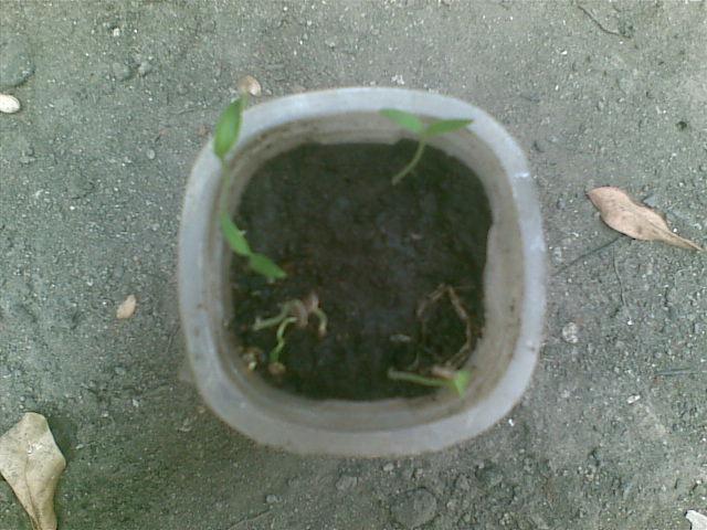 Foto tanaman cabai rawit yang tidak terkena cahaya matahari secara ...