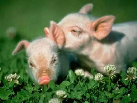 Despierta, te necesitan: ¿podría el hombre descender del cerdo?