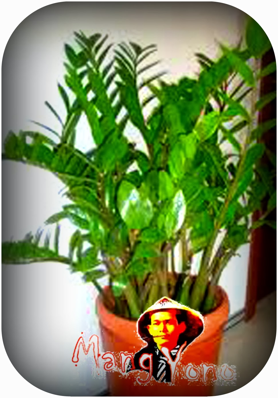 Cara merawat dan memperbanyak tanaman Pohon Dollar