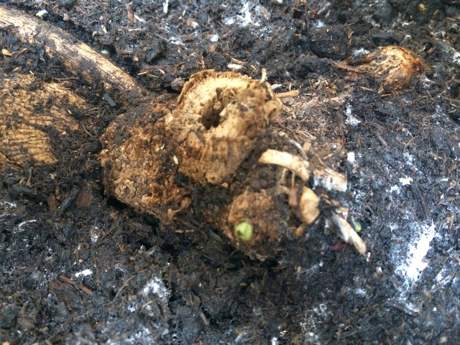 The first hints of a shoot appear on an overwintered dahlia