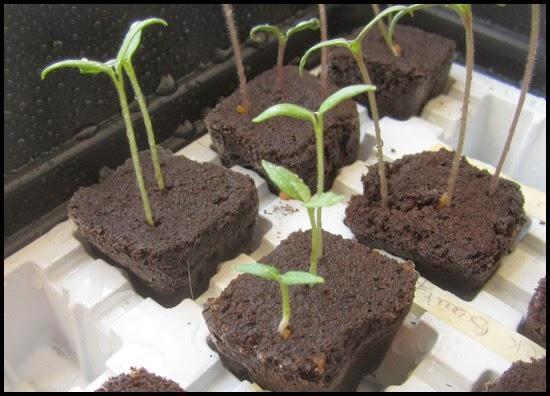 semis aubergines
