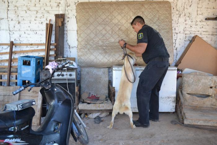 Cómo se Entrena a Los Perros Buscadores de Dinero.